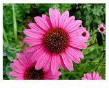 Echinaceae-
