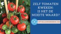 Zelf tomaten kweken